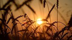 Зерновые. Архивное фото