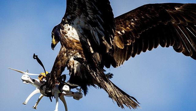 Орел ловит квадрокоптер во время учений полиции Нидерландов