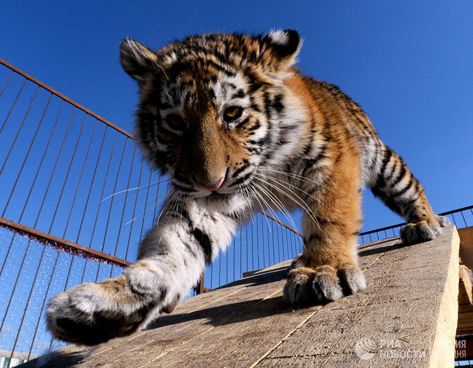 Водном изхабаровских посёлков словили «конфликтного» тигра