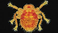 Пчелиная вошь на снимке Спайка Уокера