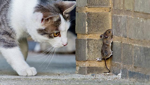 Кот наблюдает за мышью