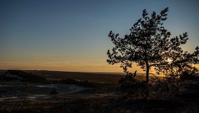 Сосна в национальном парке Куршская коса