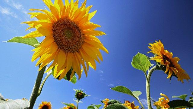 В Ульяновской области собран рекордный для региона урожай подсолнечника