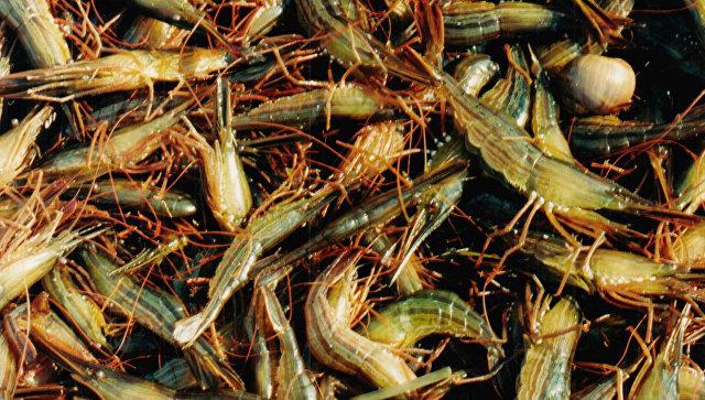 Добыча креветки. Архивное фото