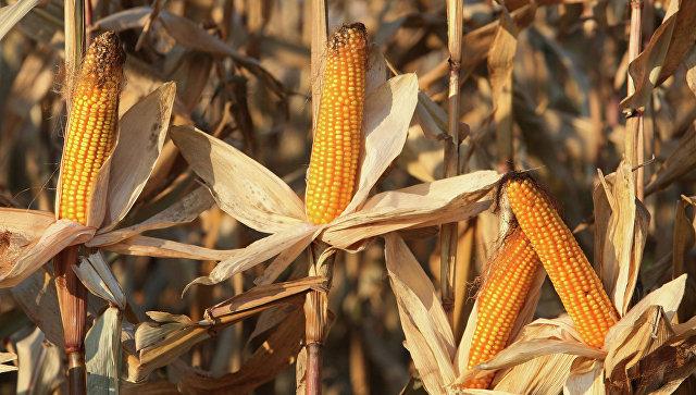 Созревшие початки кукурузы. Архивное фото