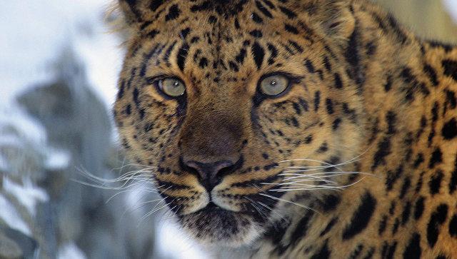 Дальневосточный леопард из национального парка Приморья Земля леопарда. Архивное фото