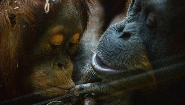 Калининградский зоопарк попросил одеяла ипледы для орангутанов