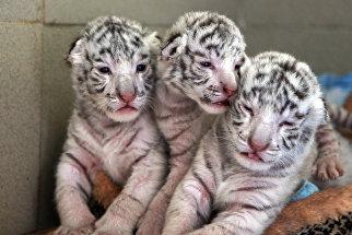 Белые бенгальские тигрята, родившиеся в ялтинском зоопарке Сказка