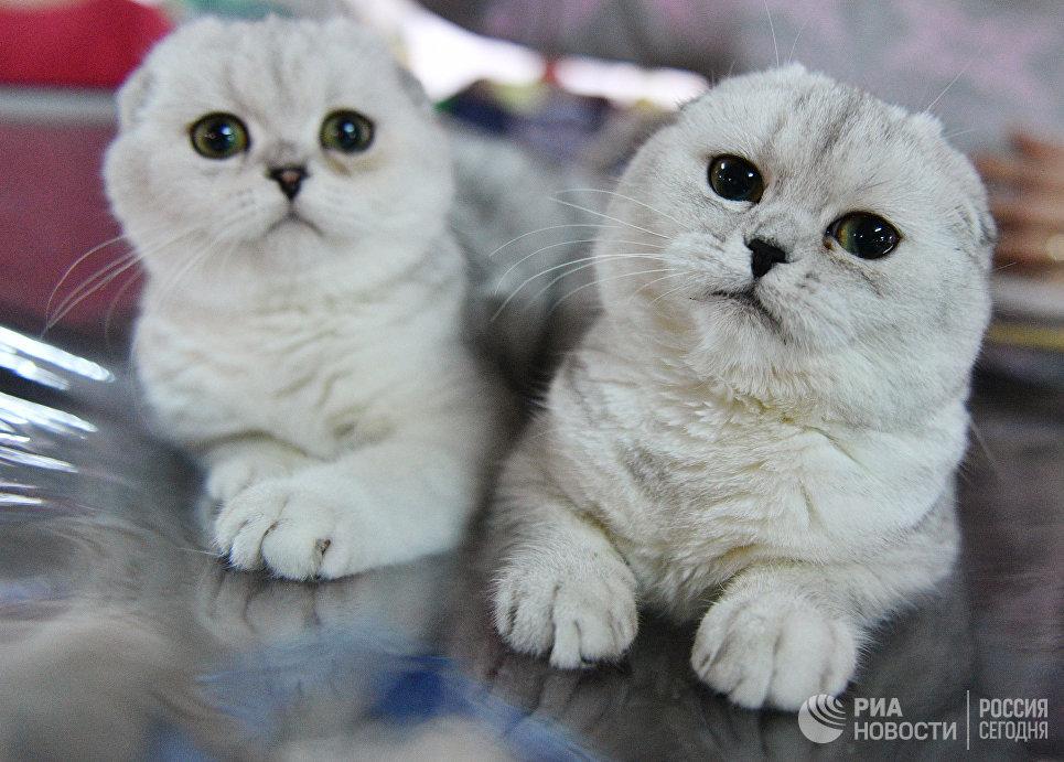 Кошки породы шотландская вислоухая на выставке Кэт-Салон-Декабрь в Москве