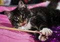 Кошка породы мейнкун на выставке Кэт-Салон-Декабрь в Москве