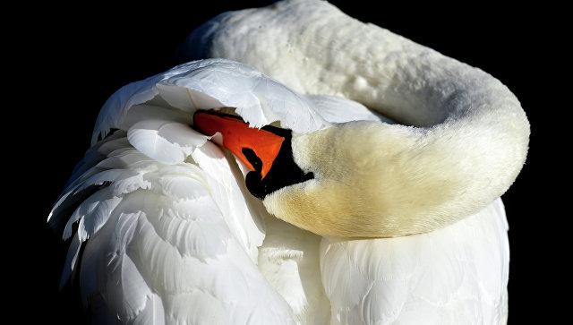 Нанезамерзающем озере вАлтайском крае зимуют три вида лебедей