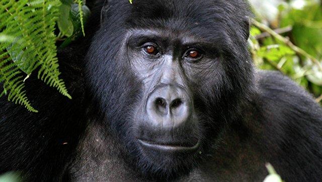 Исчезающий вид горилл в Национальном парке в Уганде