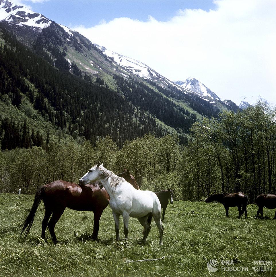 Лошади в долине. Тебердинский государственный природный заповедник