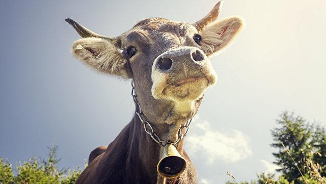 Корова с колокольчиком. архивное фото