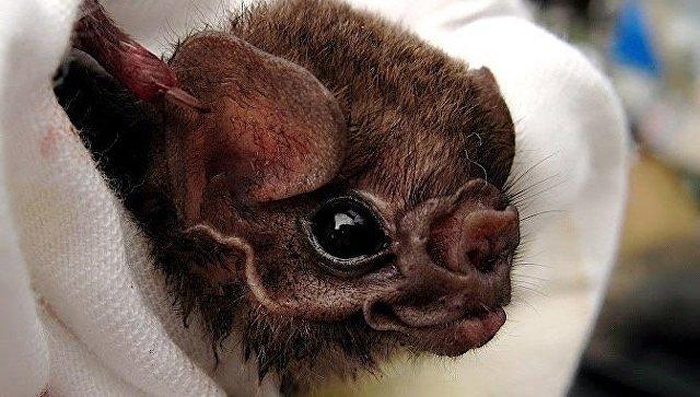 Зоологи: ВБразилии летучие мыши-вампиры начали нападать налюдей