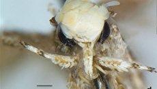 Бабочка Neopalpa donaldtrumpi
