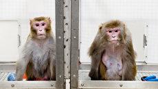 Левая обезьяна питалась низкокалорийной диетой 27 лет, правая – обычной едой