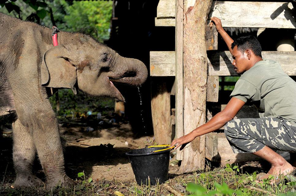 Сотрудник Центра Охраны Слонов дает воду спасенному обезвоженному слоненку в Ачех, Индонезия