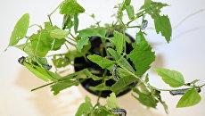Гусеницы хлопчатниковой совки, поедающие растение