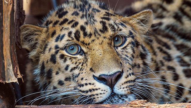 Дальневосточный леопард