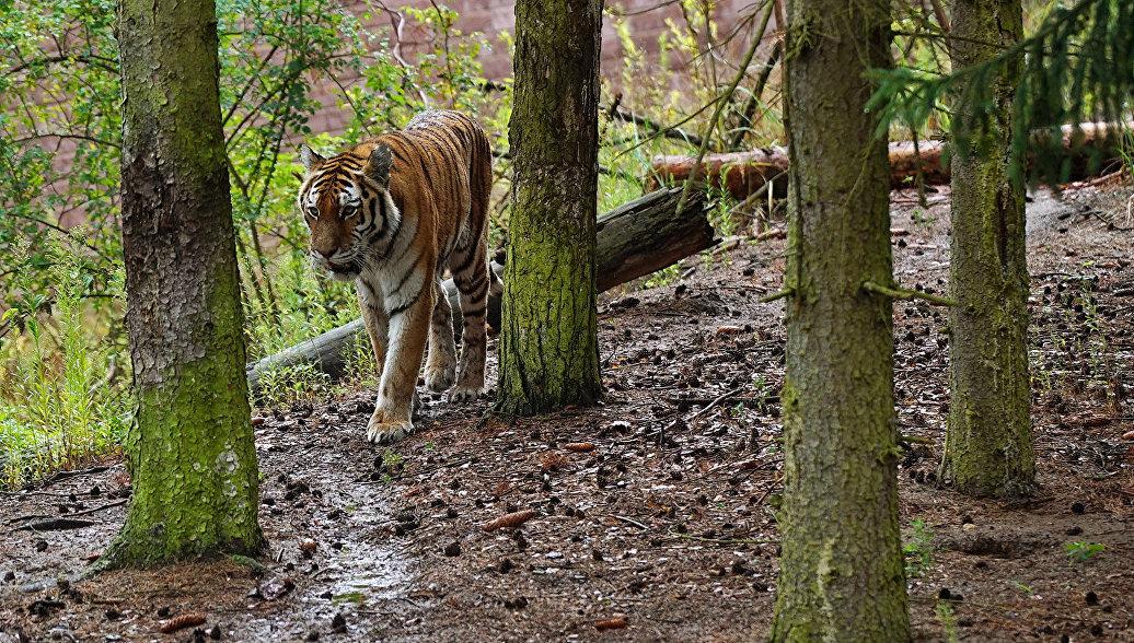 Еще 2-х тигров выпустят наволю вПриморье