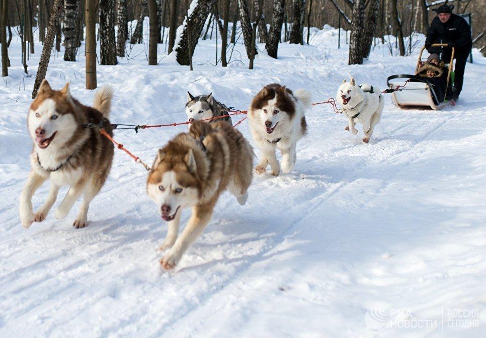 Дети катаются на собачьих упряжках на территории парка Сокольники в рамках реабилитационной и образовательной программы По пути с хаски