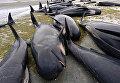 Дельфины на берегу в Новой Зеландии