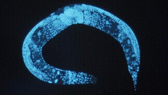 Фотография нематоды Caenorhabditis elegans