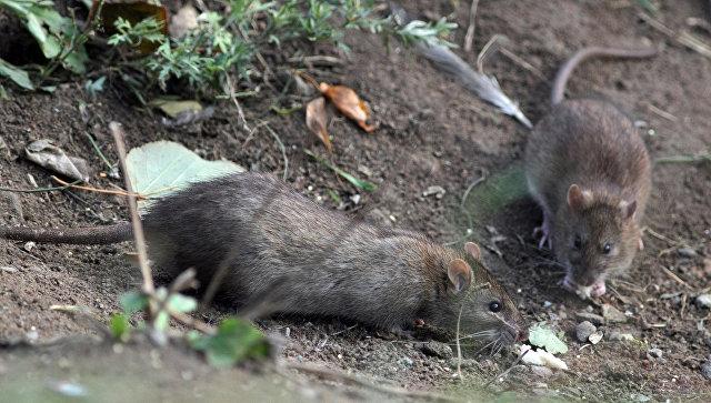 Шведский город подвергся нашествию гигантских крыс
