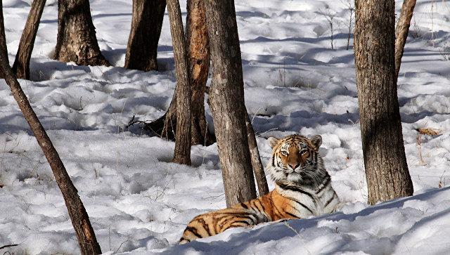 Мертвого тигра отыскали вХабаровском крае, браконьеров неищут