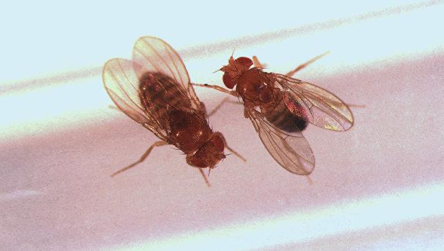 Самец и самка дрозофилы, готовящиеся к спариванию. Архивное Фото.
