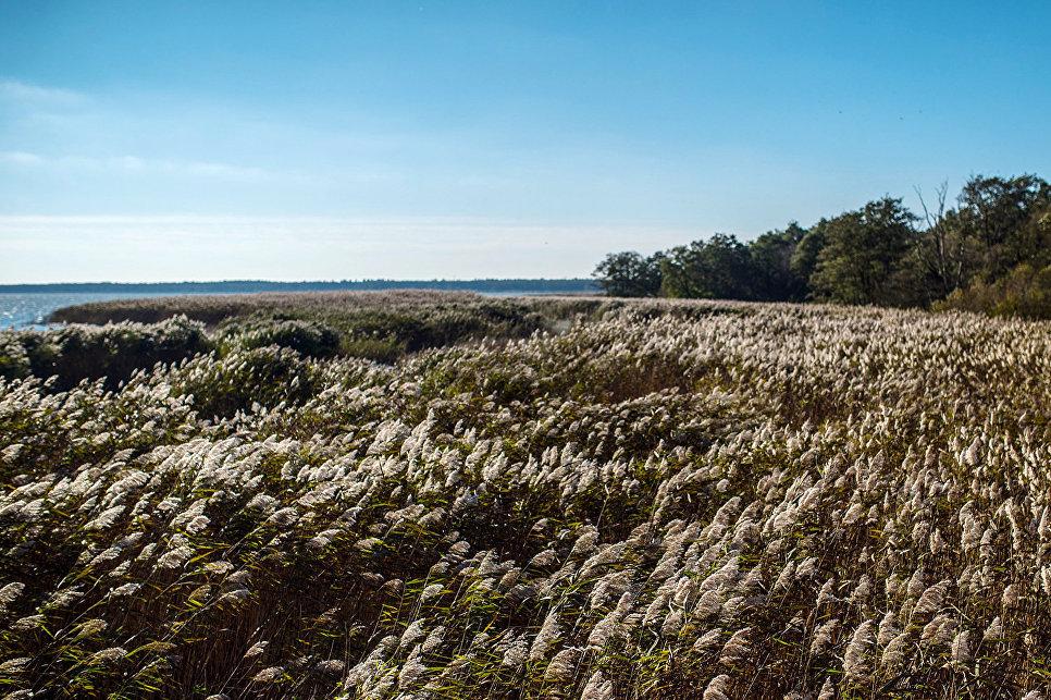 Тростник обыкновенный на берегу Куршского залива.