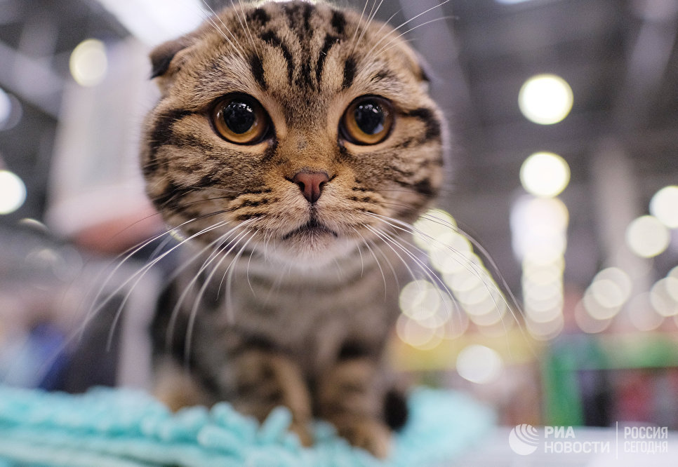 Кошка породы шотландская вислохуая на международной выставке Кэтсбург 2017 в Москве