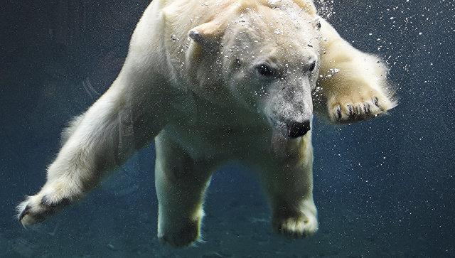Белый медведь по кличке Милана в зоопарке Ганновера, Германия