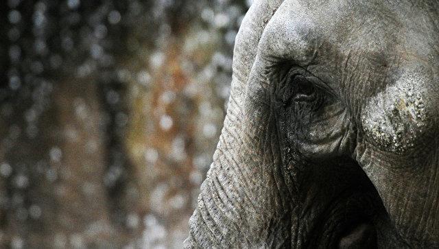 Навостоке Индии агрессивный слон убил как минимум 15 человек  ибыл «казнен» охотником