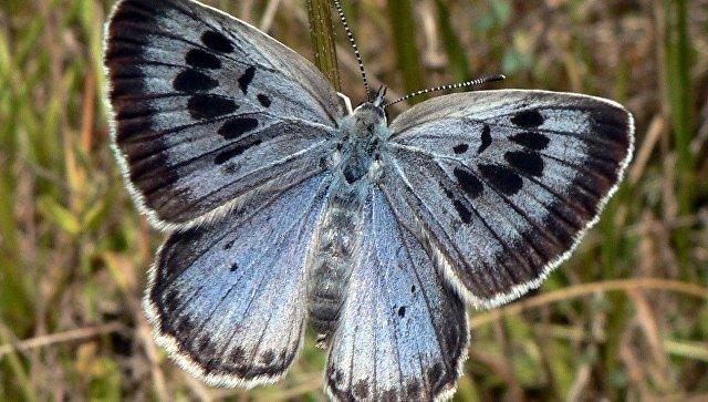 Голубянка арион. Архивное фото