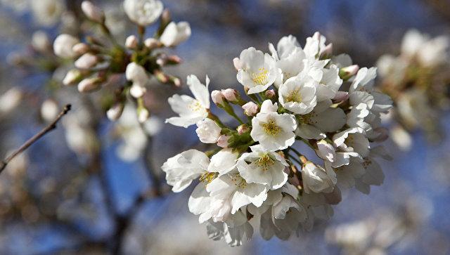 Цветение сакуры. Архивное