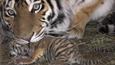 Тигрица Фрося кормила своих новорожденных малышей в крымском сафари-парке