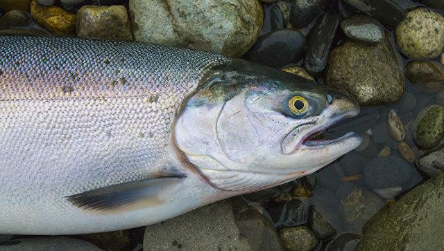 Тюменские рыбоводные учреждения наращивают индустриальные темпы