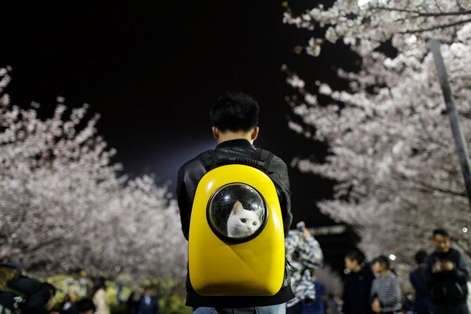 Мужчина гуляет со своим питомцем во время цветения сакуры в Шанхае, Китай