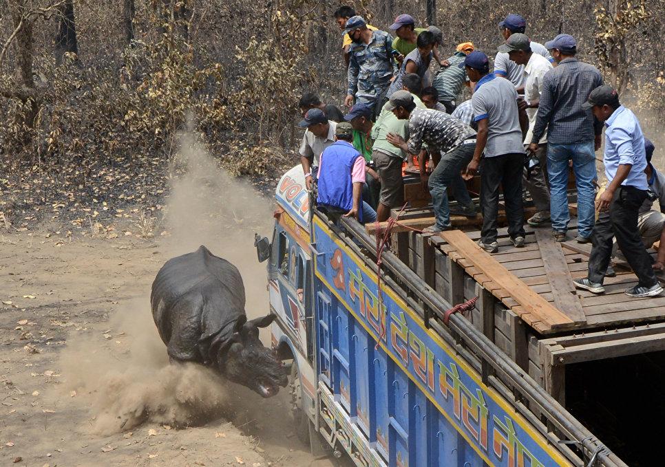 Самец однорогого носорога, выпущенный на свободу в национальном парке Читван в Непале, атаковал сотрудников заповедника и их транспорт