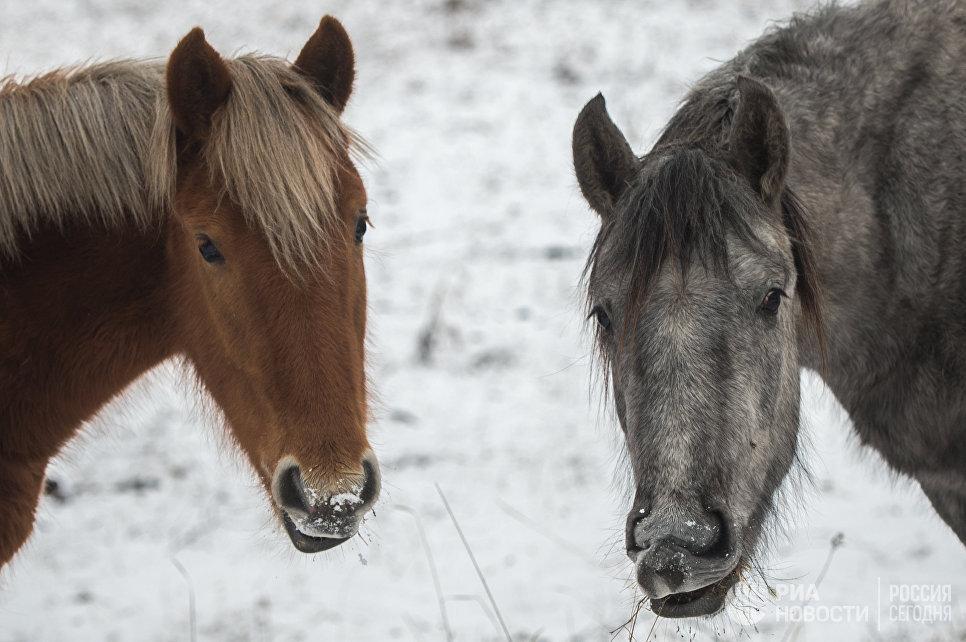Лошади пасутся на пастбище в Республике Алтай