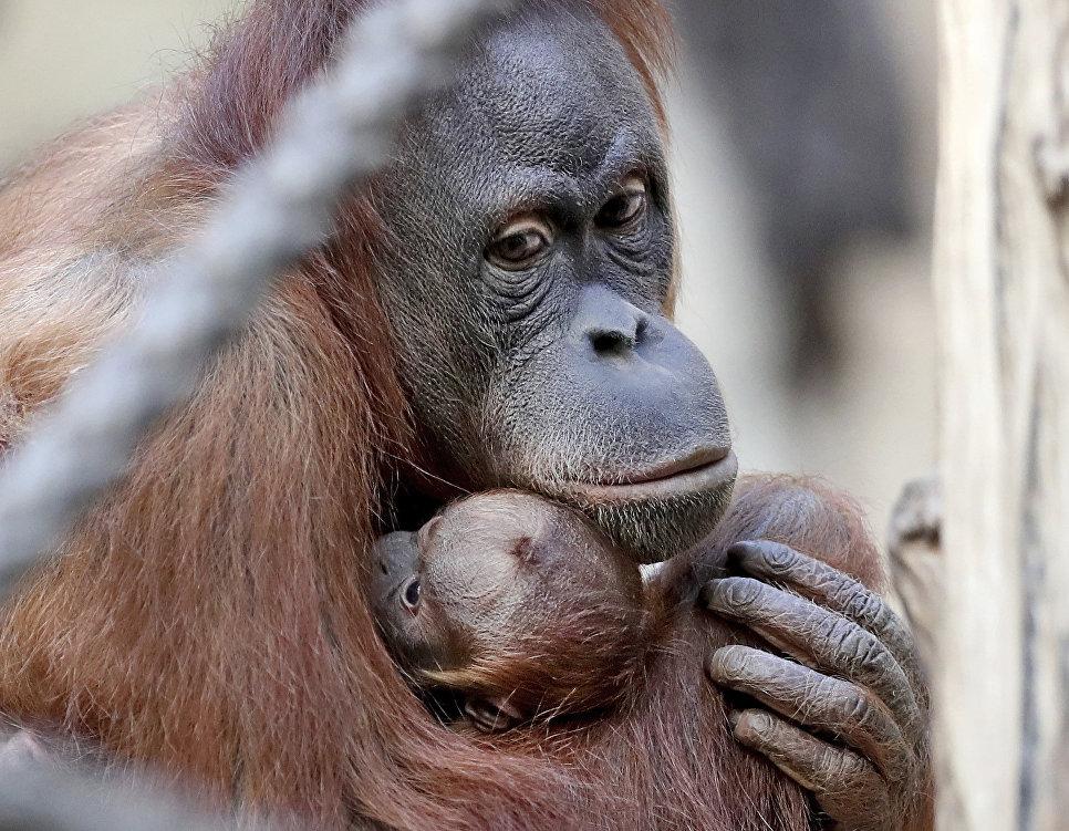 Самка орангутана со своим детенышем в зоопарке Лейпцига