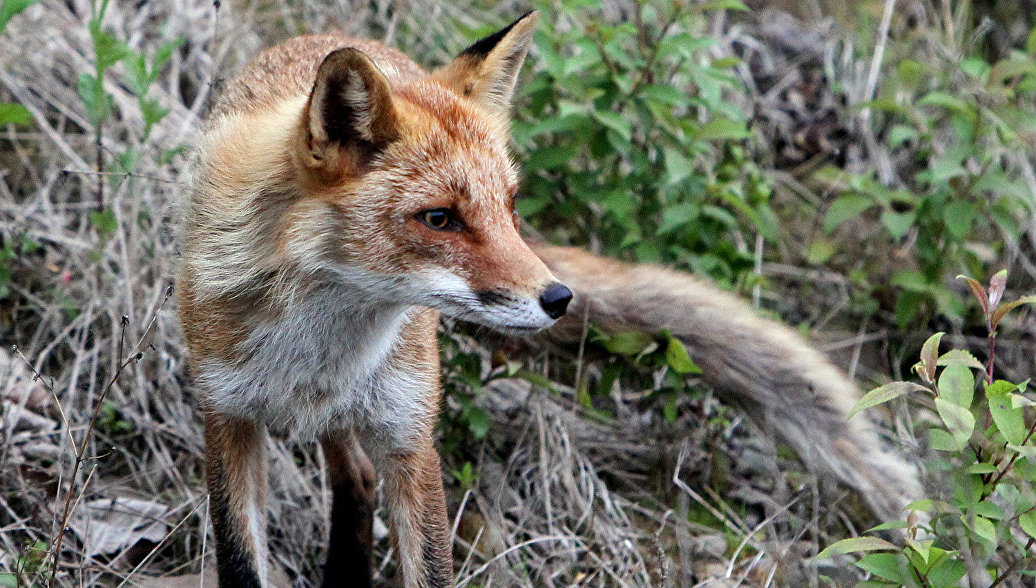 Студенты ДВФУ проведут акцию Рыжее сердце в защиту лисиц