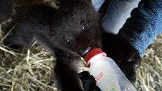Медвежата-сироты пили молоко с медом и играли в конюшне под Красноярском