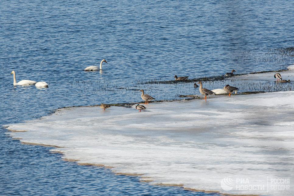 Птицы на озере Шотозеро в Карелии
