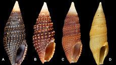 Раковины четырех разных улиток-киллеров, считавшихся раньше одним видом