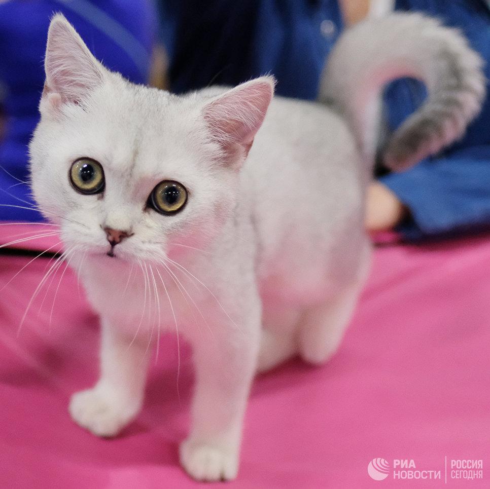 Кошка породы британская на международной выставке Кубок Валенсии - Весна в Москве