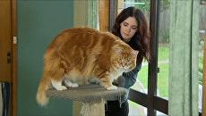 14-килограммовый Омар - как выглядит претендент на звание самого длинного кота