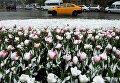 Клумба тюльпанов в снегу в Новосибирске